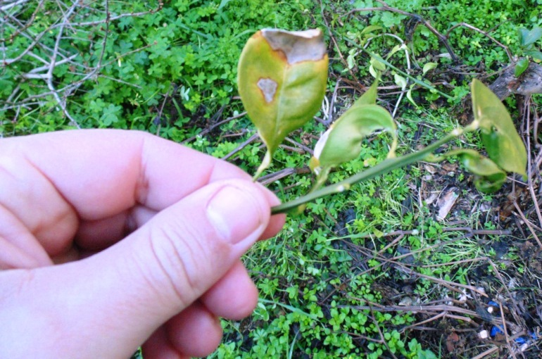 Orange Tree Diseases and Pests