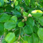 Pear Tree Pests and Diseases