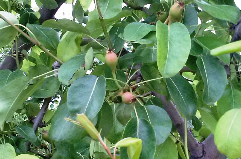 How to prune Pear Trees