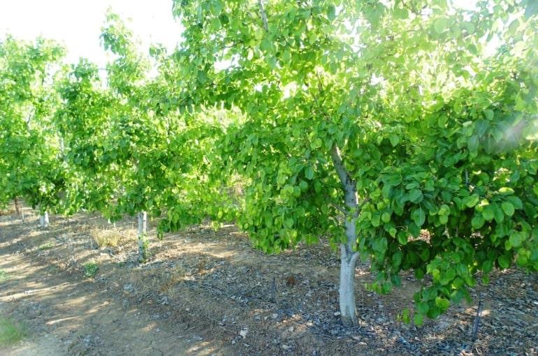 Pear Tree Irrigation