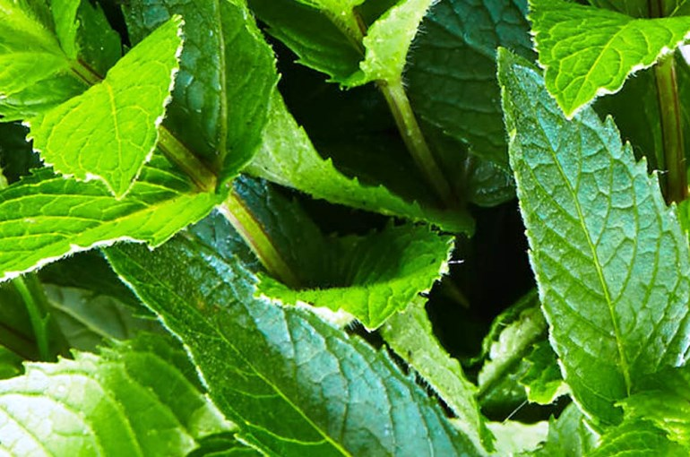 Peppermint Plant Info and Uses