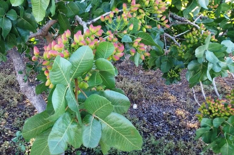 Pistachio Tree Fertilizer Requirements