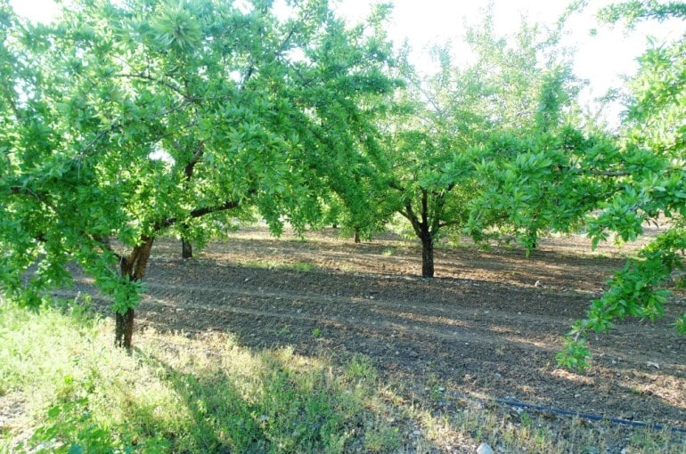 Number of Almond Trees per Hectare