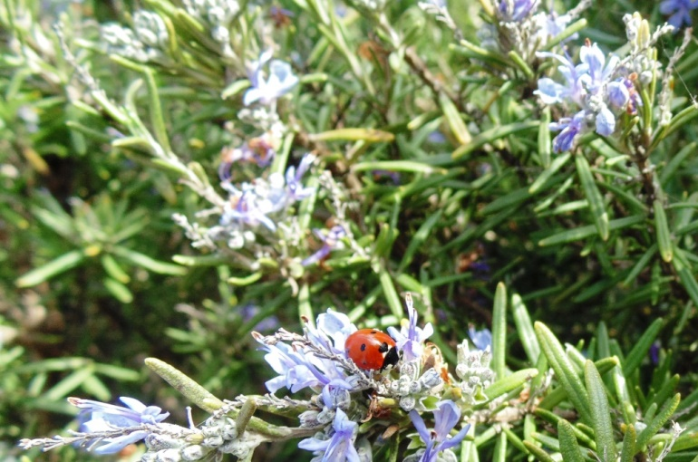 Rosemary Plant Info and Uses