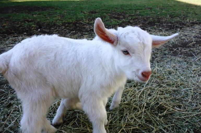 How to select Goats for Milk or Meat