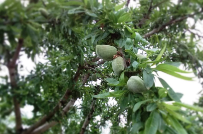 How to start an Almond Farm