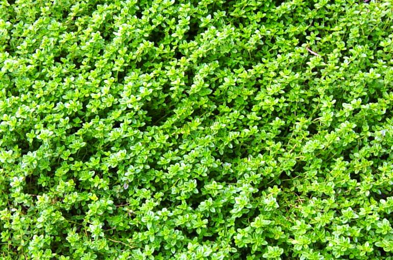 How and When to harvest Thyme