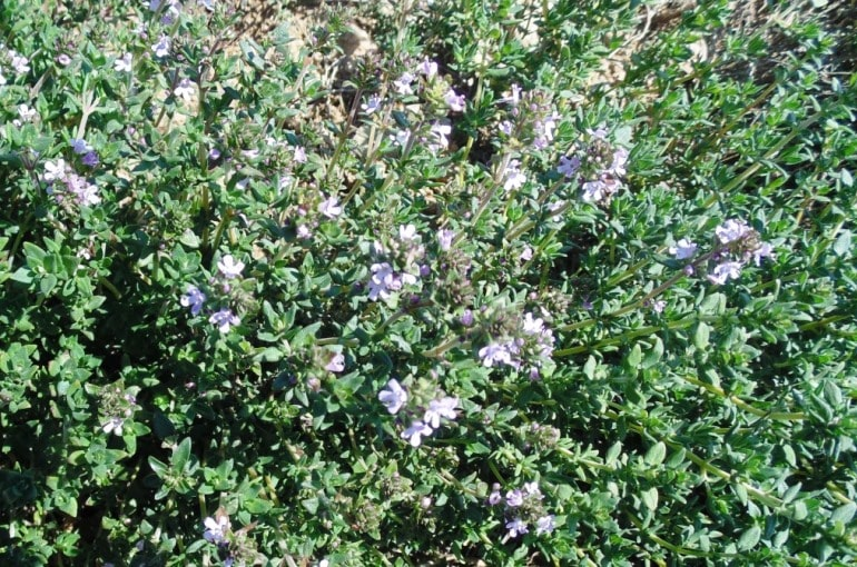 Thyme Plant Info and Uses