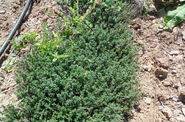 Thyme Weed Management