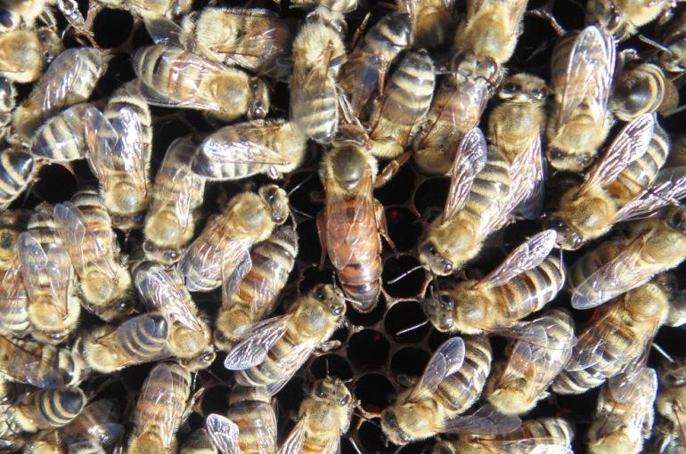 Queen Bee Facts - Queen Bee size