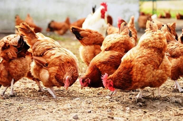 Πώς να επιλέξετε κοτόπουλα για αυγά και για κρέας - Wikifarmer