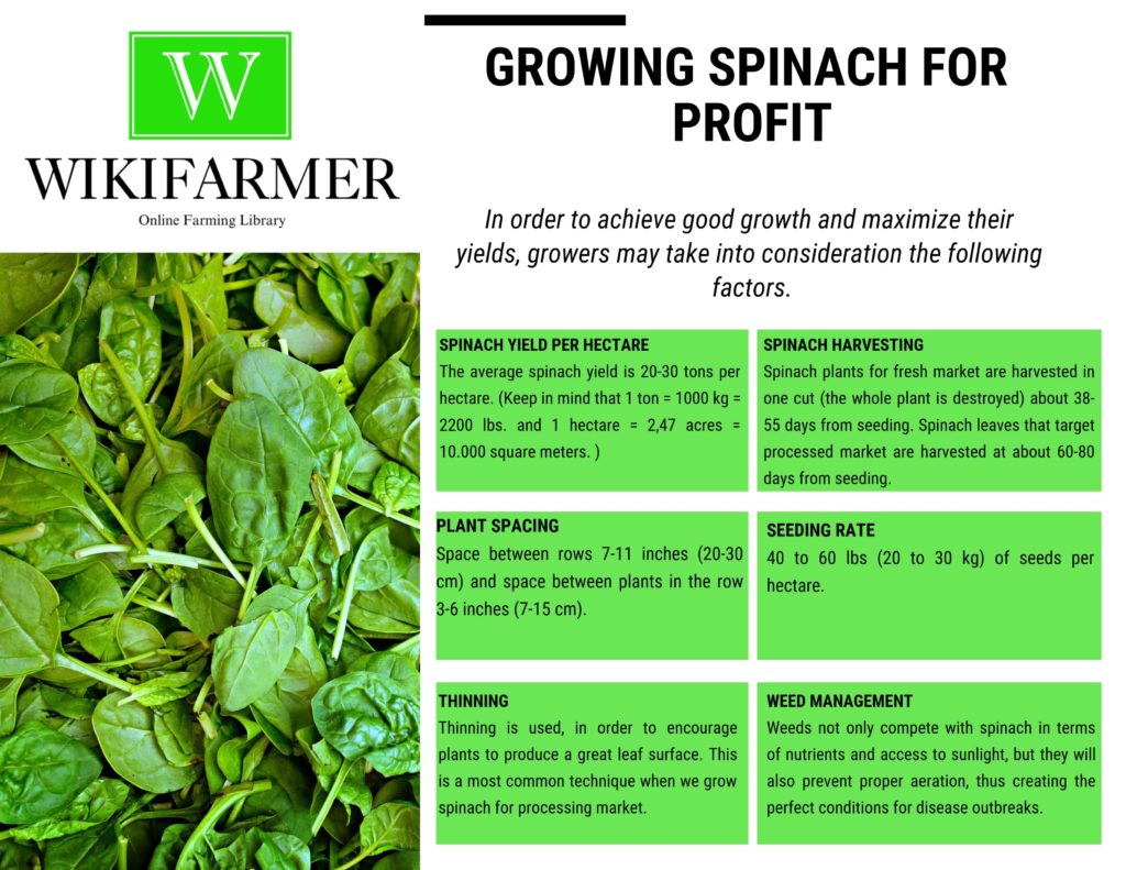 Spinach Growing Guide