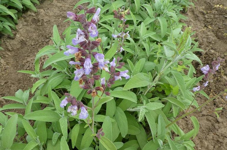 كيفية زراعة ونمو نبات المريمية الشائعة (Common Sage)- للمبتدئين - Wikifarmer