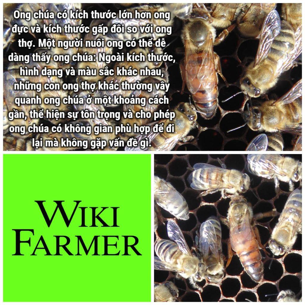Tổ chức và cấu trúc xã hội của Ong mật