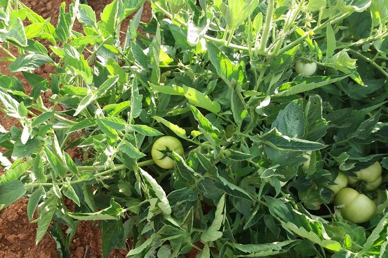 Growing tomato Backyard