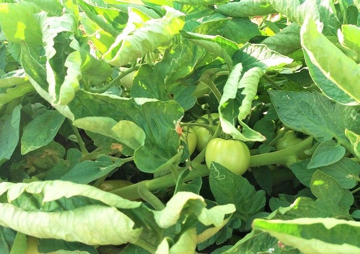 Tomato Plant Information