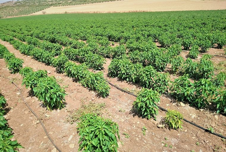 How to grow Pepper for profit
